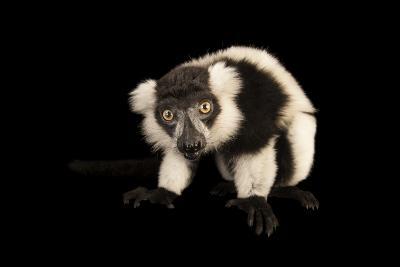 A Critically Endangered Black and White Ruffed Lemur, Varecia Variegata, Lincoln Children's Zoo-Joel Sartore-Photographic Print