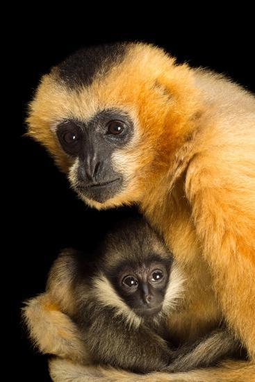 A Critically Endangered Female Northern White Cheecked Gibbon with Her Year Old Baby-Joel Sartore-Photographic Print