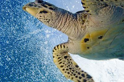 A Critically Endangered Hawksbill Turtle-Carrie Vonderhaar-Photographic Print