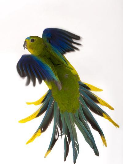 A Critically Endangered Orange-Bellied Parrot, One of the Rarest Birds in the World-Joel Sartore-Photographic Print