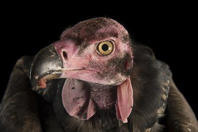 A Critically Endangered Pondicherry Vulture, Sarcogyps Calvus, at the Palm Beach Zoo-Joel Sartore-Photographic Print