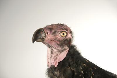 A Critically Endangered Pondicherry Vulture, Sarcogyps Calvus, at the Palm Beach Zoo-Joel Sartore-Photographic Print