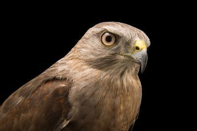 A Critically Endangered Ridgway's Hawk, Buteo Ridgwayi, at Parque Zoologico Nacional-Joel Sartore-Photographic Print