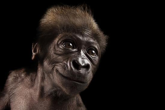A Critically Endangered, Six-Week-Old Female Baby Gorilla, Gorilla Gorilla Gorilla, at the Cincinna-Joel Sartore-Photographic Print