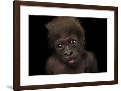 A Critically Endangered, Six-Week-Old Female Baby Gorilla, Gorilla Gorilla Gorilla, at the Cincinna-Joel Sartore-Framed Photographic Print