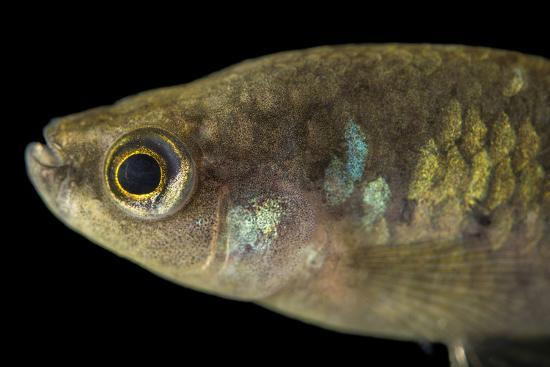 A critically endangered Tequila splitfin, Zoogoneticus tequila-Joel Sartore-Photographic Print