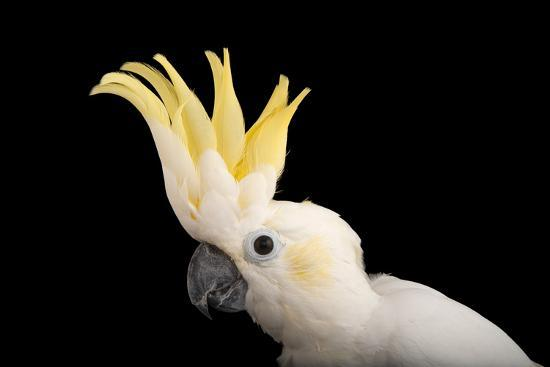 A critically endangered yellow-crested cockatoo from the Gladys Porter Zoo   Photographic Print by Joel Sartore | Art com