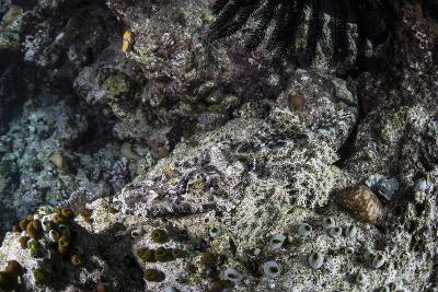 A Crocodilefish Lays on the Seafloor in the Solomon Islands-Stocktrek Images-Photographic Print