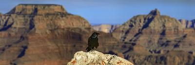 A Crow, Corvus Species, Perched on a Rock at the Edge of the Grand Canyon-Babak Tafreshi-Photographic Print