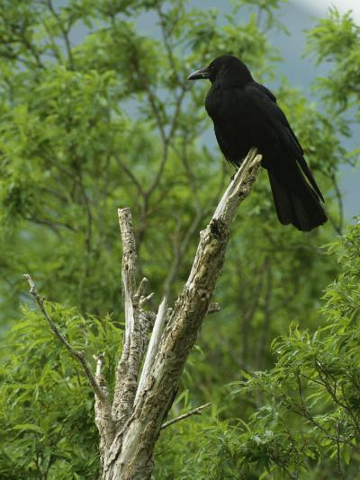 A Crow Perched on an Old Dead Tree Snag-Klaus Nigge-Photographic Print