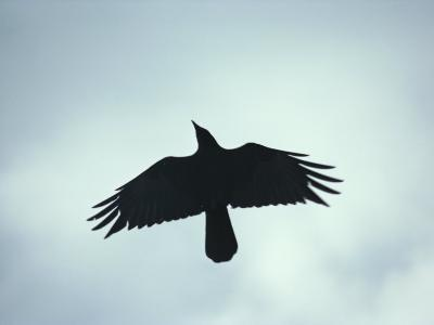 A Crow Seen in Flight from Below-Stephen St^ John-Photographic Print