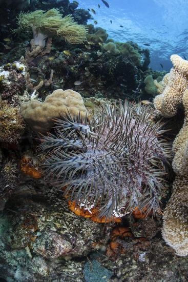 A Crown-Of-Thorns Starfish on a Reef in Indonesia-Stocktrek Images-Photographic Print