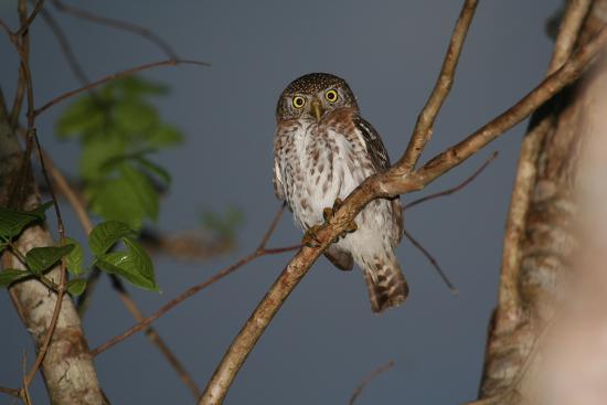 A Cuban Pygmy Owl, Glaucidium Siju, Perched in a Tree, Looking at the Camera-Cagan Sekercioglu-Photographic Print