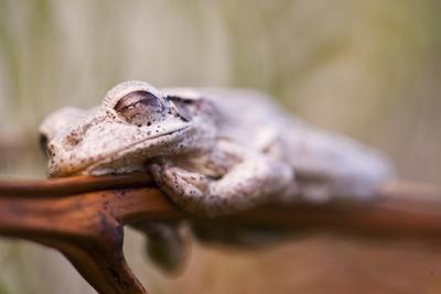 https://imgc.artprintimages.com/img/print/a-cuban-tree-frog-sleeping-on-abaco-island-in-the-bahamas_u-l-pwdtpn0.jpg?p=0