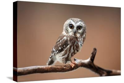 A Curious Saw-Whet Owl--Stretched Canvas Print