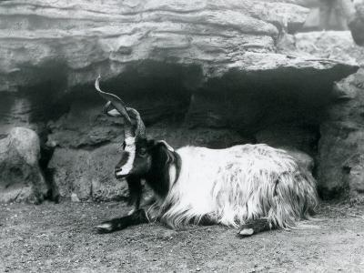 A Curly-Horned Goat at London Zoo, June 1922-Frederick William Bond-Photographic Print