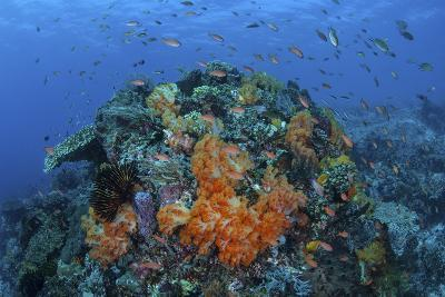 A Current Sweeps across a Colorful Coral Reef in Indonesia-Stocktrek Images-Photographic Print