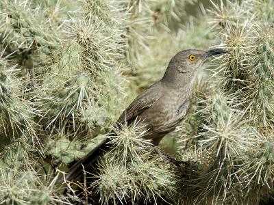 A Curve Billed Thrasher Nesting in a Cholla Cactus, Sonoran Desert-Richard Wright-Photographic Print