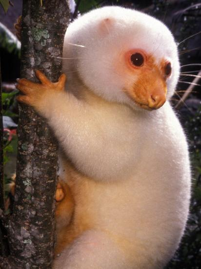 A Cuscus Clinging to a Tree Trunk--Photographic Print