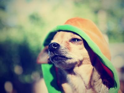 A Cute Chihuahua in a Hoodie-graphicphoto-Photographic Print