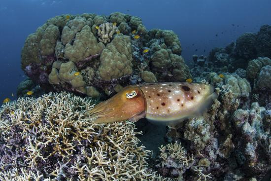 A Cuttlefish Lays Eggs in a Fire Coral on a Reef in the Solomon Islands-Stocktrek Images-Photographic Print