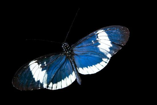 A Cydno Longwing Butterfly, Heliconius Cydno, at the Saint Louis Zoo.-Joel Sartore-Photographic Print