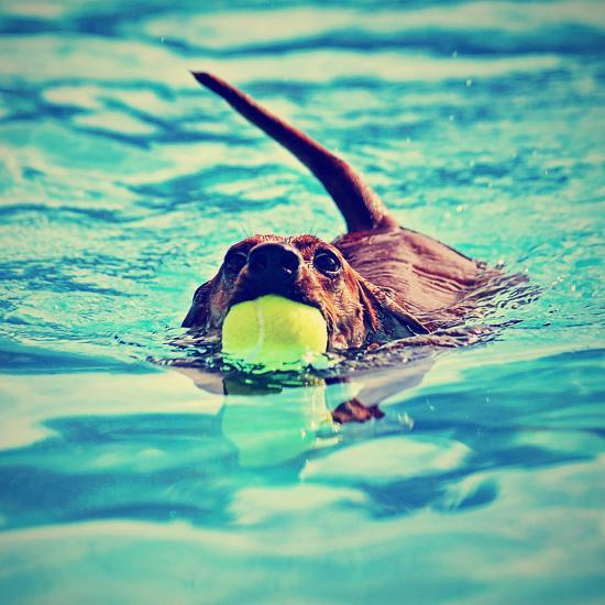 A Dachshund with a Ball in His Mouth-graphicphoto-Photographic Print