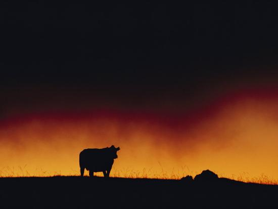 A Dairy Cow is Silhouetted against a Fiery Sky Near Mauna Kea-Chris Johns-Photographic Print