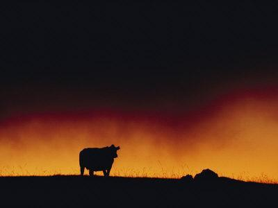 https://imgc.artprintimages.com/img/print/a-dairy-cow-is-silhouetted-against-a-fiery-sky-near-mauna-kea_u-l-p3r1xa0.jpg?p=0