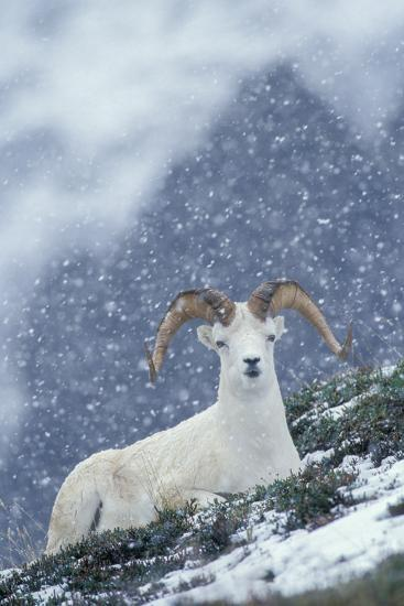 A Dall's Sheep Rests on a Hillside in a Snowstorm-Tom Murphy-Photographic Print