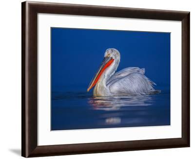 A Dalmatian Pelican ,Pelecanus Crispus, on Kerkini Lake During Blue Hour-Marcin Dobas-Framed Photographic Print