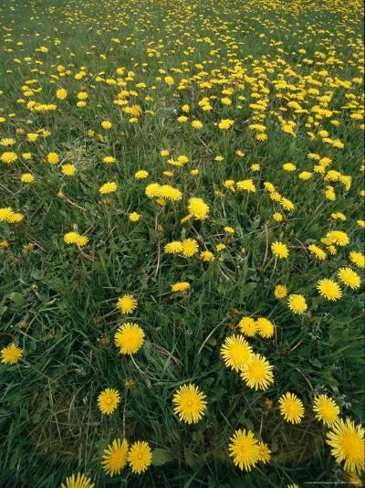 A Dandelion Filled Field in Rogers Pass-Michael S^ Lewis-Photographic Print