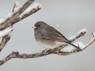 A Dark-Eyed Junco, Junco Hyemalis, Perched on a Snowy Branch-George Grall-Photographic Print