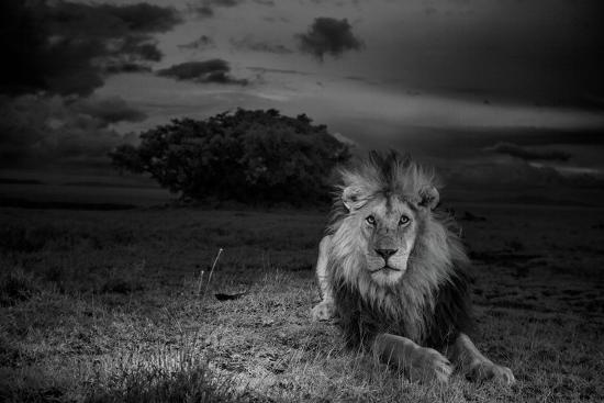 A Dark-Maned Male Lion known as C-Boy-Michael Nichols-Photographic Print