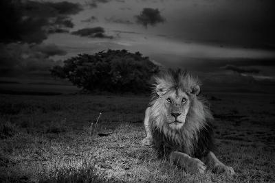 A Dark-Maned Male Lion known as C-Boy-Michael Nichols-Photographic Print