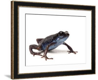 A Darkland Morph of the Strawberry Poison Dart Frog, Oophaga Pumilio-Joel Sartore-Framed Photographic Print