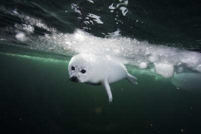 A Days Old Harp Seal Pup Learns to Swim in the Gulf of Saint Lawrence-David Doubilet-Photographic Print