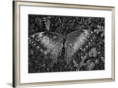A Dead Blue Morpho Butterfly, Morpho Peleides, Covered in Dew-Kike Calvo-Framed Photographic Print