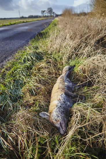 A Dead Red Fox, Vulpes Vulpes, on a Roadside in Countryside on the Somerset Levels-Nigel Hicks-Photographic Print