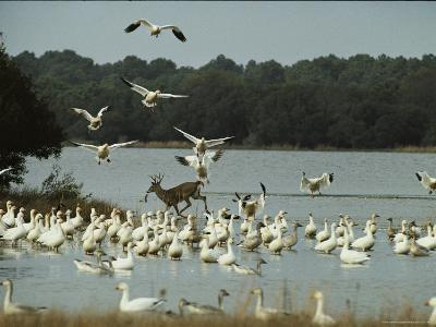 A Deer and Snow Geese in the Chincoteague National Wildlife Refuge-Medford Taylor-Photographic Print