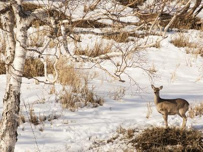 A Deer in the Forest in Shiretoko National Park-Mauricio Handler-Photographic Print