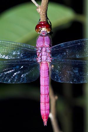 https://imgc.artprintimages.com/img/print/a-delicate-pink-skimmer-dragonfly-roosting-on-a-twig-in-the-amazon-rainforest-at-night_u-l-pokk4j0.jpg?p=0