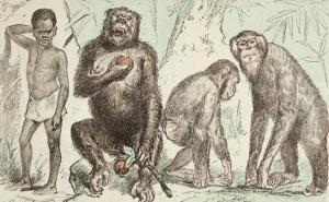 """Evolution of Man from Mammals, from """"La Creation Naturelle Et Les Etres Vivants"""" by A. Demarle"""