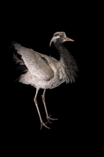 A Demoiselle Crane, Anthropoides Virgo, at Sylvan Heights Bird Park-Joel Sartore-Photographic Print