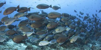 A Dense School of Yellowmask Surgeonfish, Indonesia-Stocktrek Images-Photographic Print