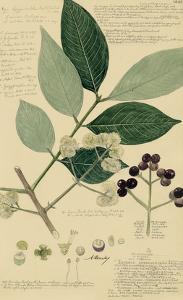 Descubes Foliage & Fruit I by A. Descubes
