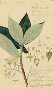 Descubes Foliage & Fruit III by A. Descubes