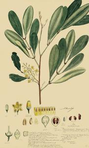 Descubes Foliage & Fruit IV by A. Descubes
