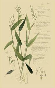 Ornamental Grasses IV by A. Descubes