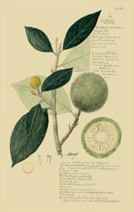 Tropical Fruits I by A. Descubes